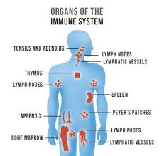 immune system, lymph, spleen, thymus, bone marrow