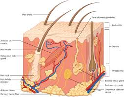skin, largest part, body, immune system, inner layer, outer layer