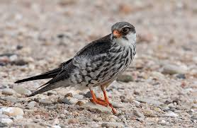 Amur Falcons, wild life preservation, nature, future generation