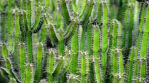 cactus, spine, sout, straight, short, spineless