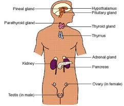 Hormones and glands