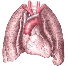 The Lungs: Basics we ought to know.