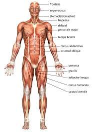 muscle, body, cardiac