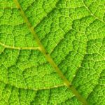 Know the structure of a leaf