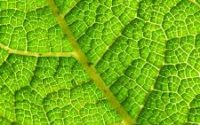 leaf,structure, photosynthesis