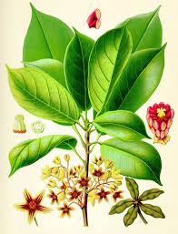 medicinal plant,herb,quinine
