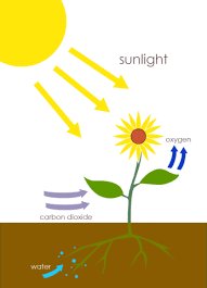 photosynthesis, plant,food