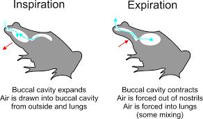 cutaneous respiration