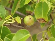 death apple, manchineel tree
