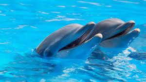 dolphin,pod,school