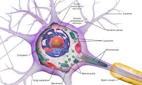 human body,cell