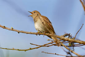 song bird,nightingale, migrate,sing