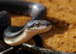 snake, hear