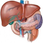 Pancreas: Essential points ought to be known