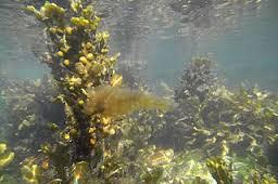 seaweed, algae,plant,under water