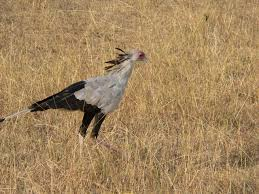 secretary bird, feather