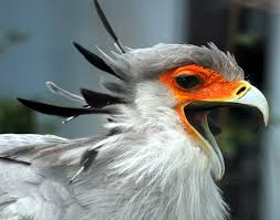 secretary bird, sahara