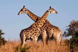 giraffe, tallest animal, land