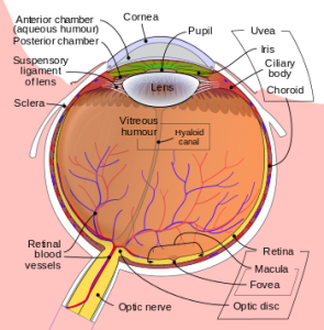 sweet spot fovea, vision, retina, line of sight, Raunak Sinha, CELL, central vision, fovea centralis, pit,