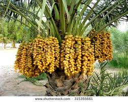 Fruit date, date, date palm, nutritious food,  Arabia, middle east, Bible, Quran, desert, symbol of fertility, organic Sulphur, fibre, allergy,