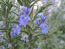 Rosemary, plant, Rosemarinus, medicinal, aromatic, culinary, cooking, memory, shrub, funeral, wedding, remembrance, tonic, digestive, antibacterial, oil, processed food