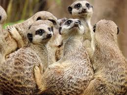 Meerkat, mammal, mongoose, team, mob, food, extrovert, venom, sentry, upright,